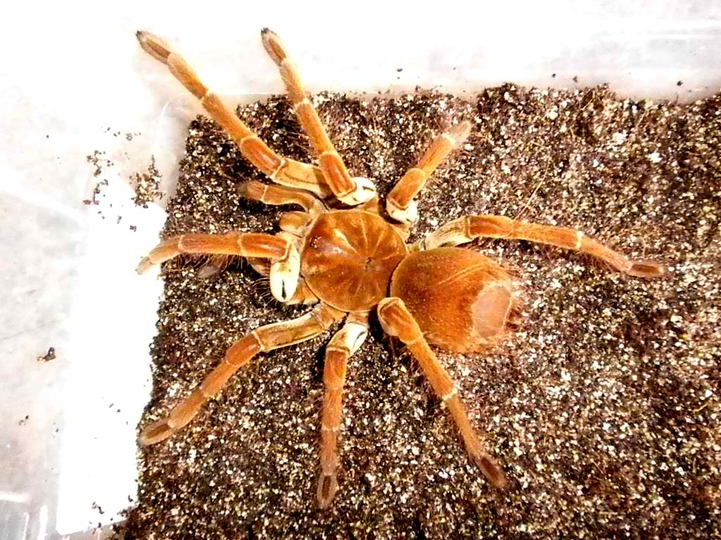 Theraphosa stirmi - GOLIATH BIRDEATER TARANTULA - around 2 ...