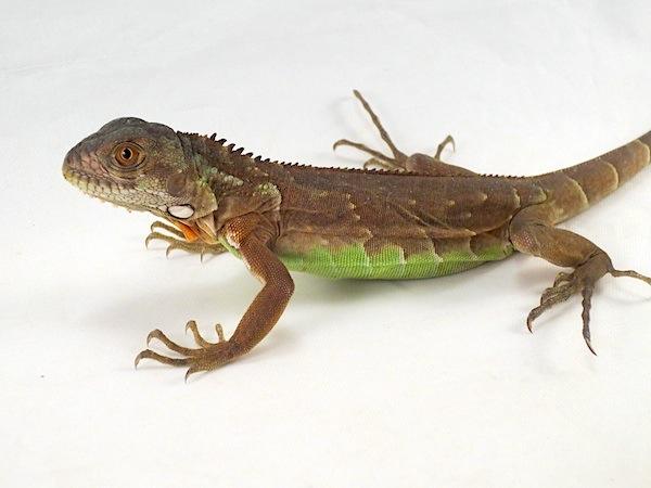 z OUT OF STOCK - RED IGUANA baby - Iguana iguana