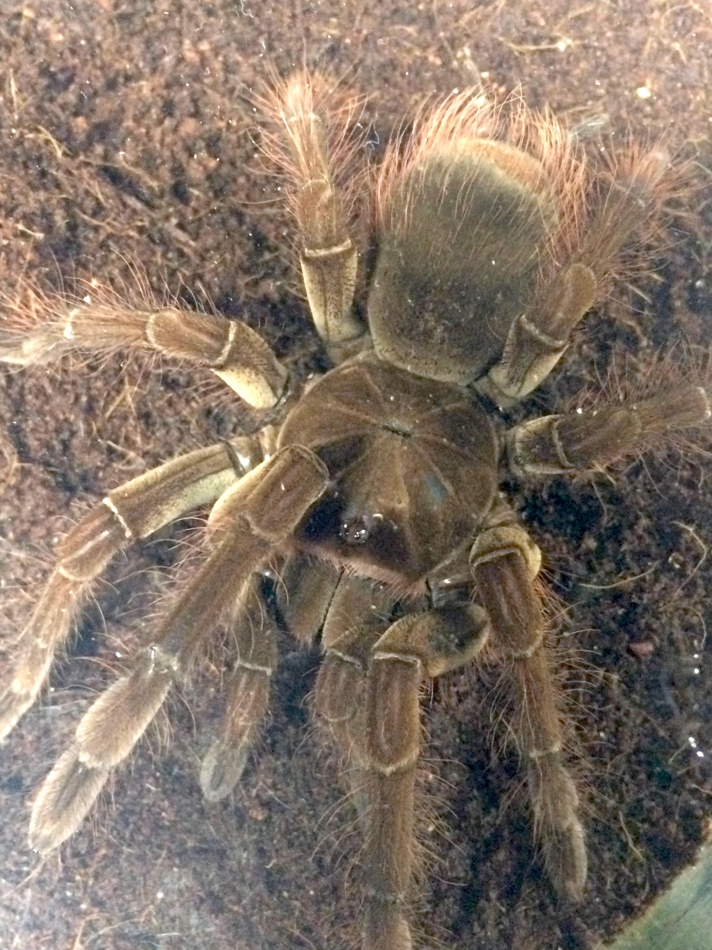 z OUT OF STOCK - Theraphosa blondi - GOLIATH BIRDEATER ...