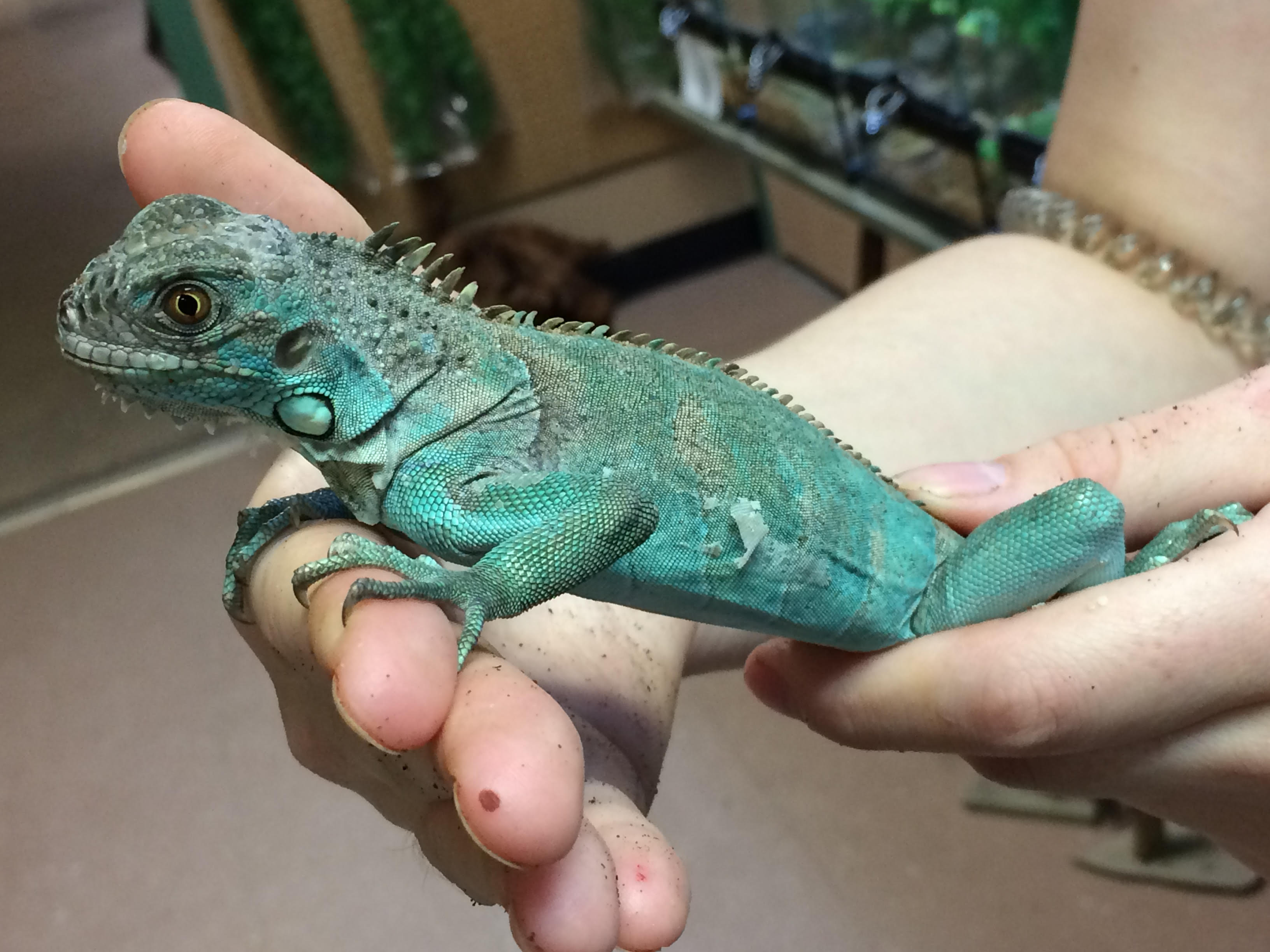z out of stock blue iguana cb babies iguana iguana