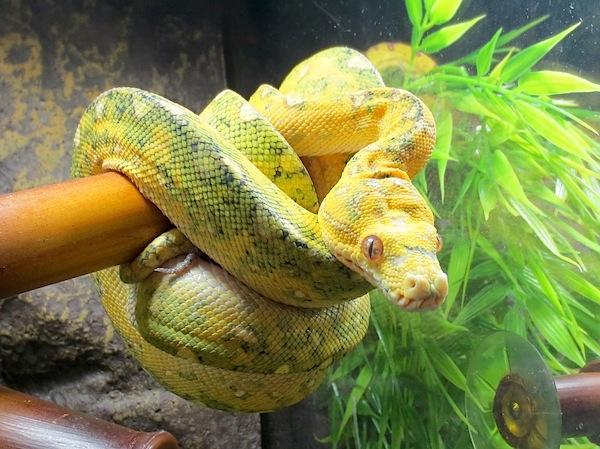 Green Tree Python Facts Photos & Information   Breeding   Care