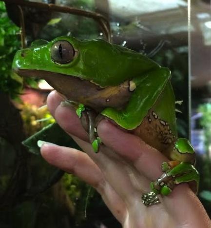 BICOLOR WAXY MONKEY TREE FROG Caresheet | Reptile Rapture
