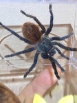 z OUT OF STOCK - Chromatopelma cyaneopubescens - GREEN BOTTLE BLUE - around 4