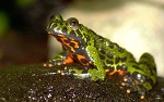 z OUT OF STOCK - FIRE BELLY TOADS - WC, Bombina orientalis