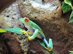 z OUT OF STOCK - RED EYED TREE FROG, WC - Agalychnis callidryas