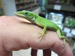 z OUT OF STOCK - GREEN ANOLES, WC - Anolis carolinensis