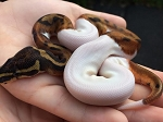 CB 2015 PIED BALL - MED WHITE MALE #3, Python regius (Produced at Reptile Rapture)