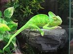 z OUT OF STOCK - VEILED CHAMELEON - CB baby males - Chamaeleo calyptratus