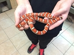 z OUT OF STOCK - KNOBLOCHI MT KING SNAKE - ADULT MALE, Lampropeltis knoblochi