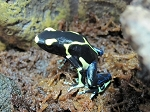 z OUT OF STOCK - CB ALANIS DART FROG - Dendrobates Tinctorius