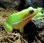GREEN TREE FROG, WC - Hyla cinerea