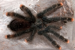z OUT OF STOCK - Avicularia avicularia - CB PINK TOE TARANTULA