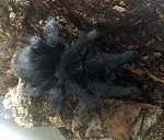 z OUT OF STOCK - Grammostola pulchra - BRAZILIAN BLACK TARANTULA (Picture is of an adult, so you can see what they look like grown.)