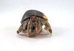 z OUT OF STOCK - ECUADORIAN HERMIT CRABS - LARGE, Coenobita compressus