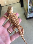 BEARDED DRAGON, RED BABIES - Pogona vitticeps