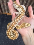 z OUT OF STOCK - HYPO BURMESE PYTHON - Python bivittatus