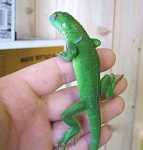 z OUT OF STOCK - GREEN IGUANA babies - Iguana iguana