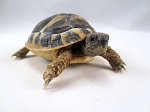 z OUT OF STOCK - HERMANNS TORTOISE, CB BABIES - Testudo hermanni