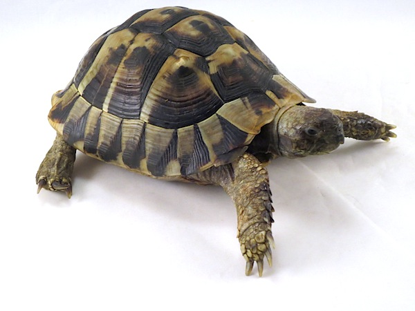 """Képtalálat a következőre: """"greek turtle testudo hermani"""""""