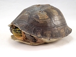 z OUT OF STOCK - WC ASIAN BOX TURTLE - Cuora amboinensis