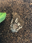 Brachypelma hamorii - CB MEXICAN RED KNEE, 1