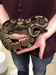 z ADOPTED RESCUE - ADULT BALL PYTHON -