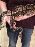 RESCUE - ADULT BALL PYTHON -