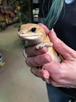 PETER'S BANDED SAND SKINKs - WC