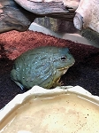 SOUTH AFRICAN PIXIE FROG - Pyxicephalus, CB ADULT, looks like a female