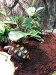 RED FOOT TORTOISE - CB 4-5
