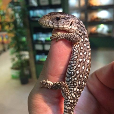 Savannah monitor price