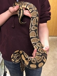 z ADOPTED - ADULT BALL PYTHON -