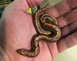 z OUT OF STOCK - KENYAN SAND BOA, STRIPED male #2 - Eryx colubrinus