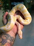 ALBINO (high contrast line) BALL PYTHON - 2015 CB - FEMALE #2, Python regius (produced by Reptile Rapture)