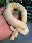 ALBINO (high contrast line) BALL PYTHON - 2015 CB - FEMALE #1, Python regius (produced by Reptile Rapture)