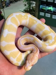 ALBINO (high contrast line) BALL PYTHON - 2015 CB - MALE #2, Python regius (produced by Reptile Rapture)