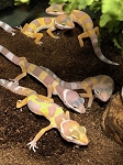 z OUT OF STOCK - LEOPARD GECKO - ALBINO, CB BABIES (Eublepharis macularius)