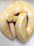 z OUT OF STOCK - ALBINO SPOTNOSE BALL PYTHON - Python regius