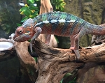 z OUT OF STOCK - AMBILOBE PANTHER CHAMELEON - CB baby MALEs, Furcifer pardalis