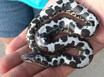 z OUT OF STOCK - KENYAN SAND BOA, ANERY - BABY FEMALE - 2016 CB, Eryx colubrinus