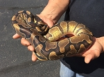 BALL PYTHON - ENCHI, MALE