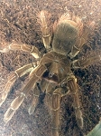 z OUT OF STOCK - Theraphosa blondi - GOLIATH BIRDEATER TARANTULA