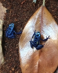 z OUT OF STOCK AZUREUS DART FROGS - Dendrobates azureus - CB babies