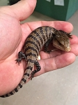 z OUT OF STOCK - IRIAN JAYA BLUE TONGUE SKINKs, CB - Tiliqua sp.