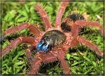 z OUT OF STOCK - Ephebopus cyanognathus -  BLUE FANG TARANTULA