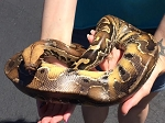 z OUT OF STOCK - BORNEO SHORT TAIL PYTHON - Python breitensteini