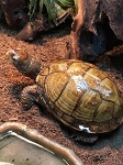 z OUT OF STOCK - 3 TOED BOX TURTLEs - Terrapene carolina triunguis