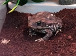 z OUT OF STOCK - MARINE (CANE) TOAD - Bufo marinus (SM) (changed to - Rhinella marina)
