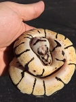 z OUT OF STOCK - BUMBLE BEE BALL PYTHON - Python regius