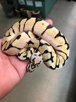 z OUT OF STOCK - BUMBLE BEE BALL PYTHON - CB MALE, Python regius (Produced at Reptile Rapture)